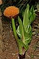 Scadoxus puniceus 1DS-II 4826.jpg