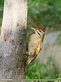 Scaly-bellied Woodpecker (Picus squamatus) (43847836040).jpg