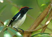 Scarlet-backed Flowerpecker (male)rare resident