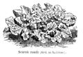 Scarole ronde Vilmorin-Andrieux 1904.png