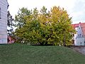 Schildau Maulbeerbaum Herbst2.jpg