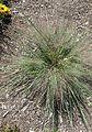 Schizachyrium scoparium 'Standing Ovation' kz1.jpg
