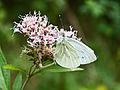 Schmetterling by Hermux.jpg