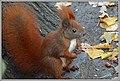 Sciurus vulgaris (45732843182).jpg