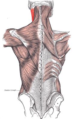 Scm posterior.PNG  頚背部の筋肉。濃い赤色が胸鎖乳突筋 ラテン語 muscul