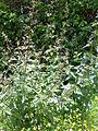 Scrophularia auriculata Habitus 2012-5-01 RioMontoro SierraMadrona.jpg