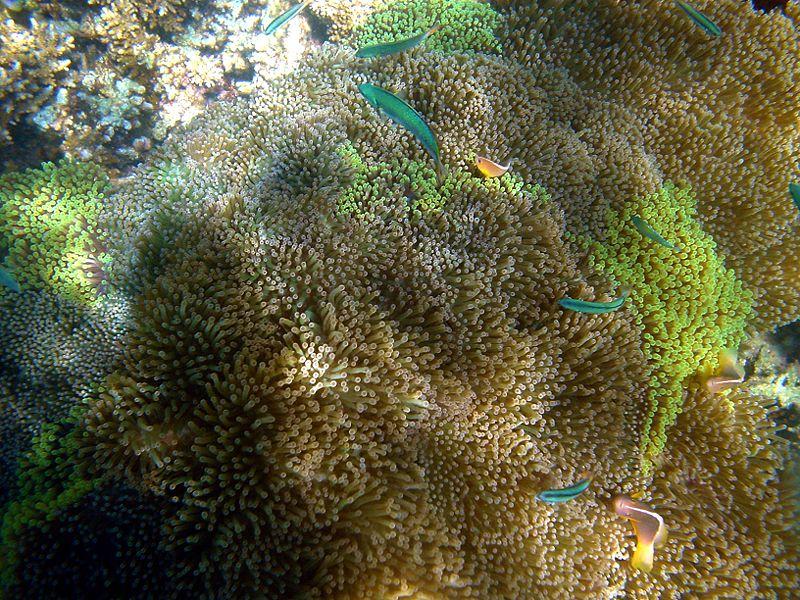 Sea anemone mad 1