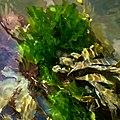 Sea lettuce in Brofjorden 2.jpg