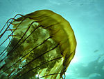 Sea nettle (Chrysaora fuscescens).jpg