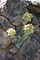 Sedum paradisum Shirtale Peak 001 (8345876957).jpg