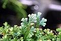 Selaginella uncinata 0zz.jpg