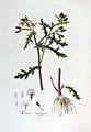 Senecio vulgaris — Flora Batava — Volume v3.jpg