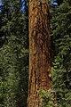 Sequoia 03.jpg