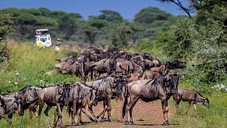 Serengeti National Park - Wildebeest on the main highway of the Western Corridor