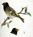 Serinus pusillus 1854.jpg