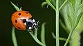 Seven-spotted Ladybird (Coccinella septempunctata) - Guelph, Ontario 02.jpg