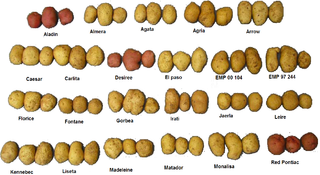 320px Several varieties of potatoes Yaels Variety Hour: Crime. Bullying. Gender Politics