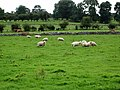 Sheep - geograph.org.uk - 554361.jpg