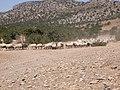Sheep and goats at Kalandos Naxos Greece DSCN1143.jpg