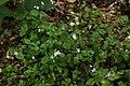 Siberian Miner's Lettuce (5118384384).jpg