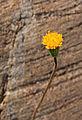 Sierran raillardella Raillardella scaposa flowerhead.jpg