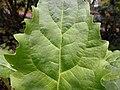 Silphium perfoliatum 2017-05-07 0113.jpg