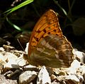 Silver-Washed Fritillary. Argynnis paphia - Flickr - gailhampshire.jpg