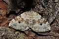 Silver-ground carpet (Xanthorhoe montanata)? (14422357786).jpg