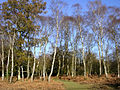 Silver birch on the edge of Brinken Wood, New Forest - geograph.org.uk - 86996.jpg