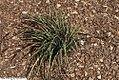 Sisyrinchium mucronatum 2zz.jpg