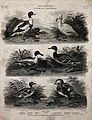 Six waterbirds of the order Anseres in their natural habitat Wellcome V0020565EL.jpg