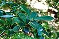Skimmia japonica Thunb. JdP.jpg