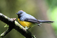 Slate throated redstart.jpg