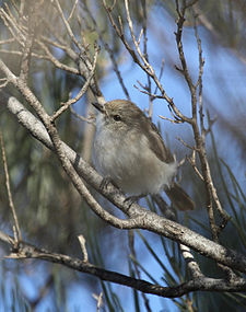 Slaty-backed Thornbill - Christopher Watson.jpg