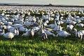 Snow geese - Fir Island - 06.jpg