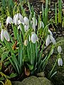 Snowdrops at Calverley, 8 February 2014 (12394121364).jpg