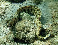 Snowflake moray in Kona