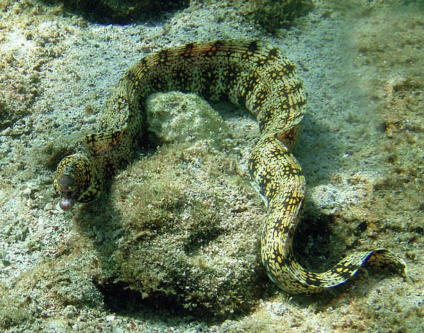Snowflake morays can feed on land, swallow prey without water 611px-Snowflake_moray_in_Kona