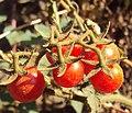 Solanum lycopersicum cerasiforme 01a.JPG