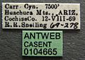Solenopsis truncorum casent0104665 label 1.jpg