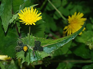 Sonchus - Sonchus oleraceus (Smooth Sow-Thistle)