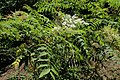 Sorbaria sorbifolia kz01.jpg