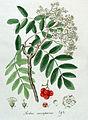 Sorbus aucuparia — Flora Batava — Volume v4.jpg