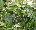 Sorbus torminalis 3.jpg