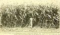 Sorghums - sure money crops (1914) (14593221268).jpg