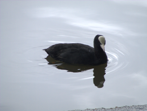 South Park, Ilford - Image: South Park, Ilford Coot (2012 07 14)
