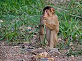 Southern Pig-tailed Macaque (15003638096) (2).jpg