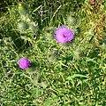 Spear Thistle, Cirsium vulgare - geograph.org.uk - 893800.jpg