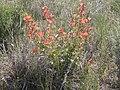 Sphaeralcea munroana (4045090487).jpg