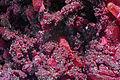 Sphaerocobaltite, calcite 7100.1.FS2015 1.jpg